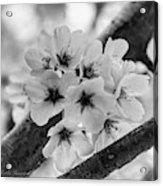 Cherry Blossoms 2019 E Acrylic Print