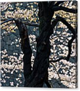 Cherry Blossoms At The Imperial Palace Acrylic Print