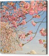 Cherry Blossoms At The Tidal Basin Acrylic Print