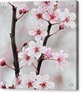 Cherry Plum Purple Plum Pink Flowers On Acrylic Print