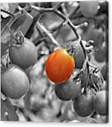 Cherry Tomatoes Partial Color Acrylic Print