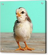 Chick On Wood Acrylic Print