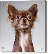 Chihuahua Looking Up Acrylic Print