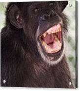 Chimp With Mouth Open Acrylic Print