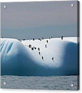 Chinstrap Penguins On Iceberg Off Of Acrylic Print