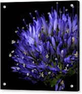 Chives Flower Acrylic Print