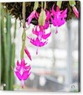 Christmas Cactus In Razzle Dazzle Pink Acrylic Print