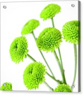 Chrysanthemum Flowers Acrylic Print