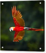 Close Up Ara Macao, Scarlet Macaw, Red Acrylic Print