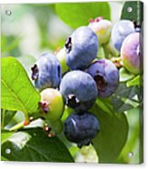 Close-up Of Blueberry Plant And Berries Acrylic Print