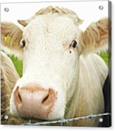 Close Up Of Cows Face Acrylic Print