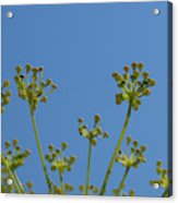 Close Up Of Fennel Flowers. On Sky Background Acrylic Print