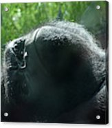 Close-up Of Frowning Adult Mountain Gorilla Acrylic Print