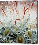 Close Up Of Globe Shaped Cactus With Acrylic Print