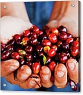 Close Up Of Hands Holding Coffee Beans Acrylic Print
