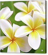 Close Up Of White And Yellow Plumeria Acrylic Print
