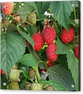 Close-up Ripening Organic Raspberries Acrylic Print