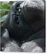 Close-up Shot Of Silverback Gorilla Making An Angry Face Acrylic Print