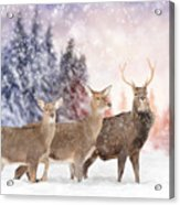 Close Young Deer In Nature. Winter Time Acrylic Print