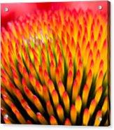 Closeup Of Flower Echinacea Purpurea Acrylic Print