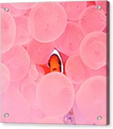Clownfish In Corals Acrylic Print