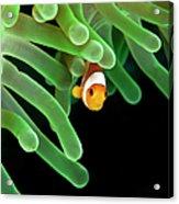 Clownfish On Green Anemone Acrylic Print