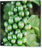 Coffee Berries Acrylic Print