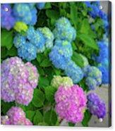 Colorful Hydrangeas Acrylic Print