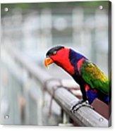 Colorful Lory Acrylic Print