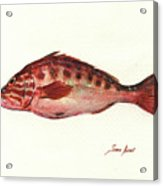 Comber Fish Acrylic Print
