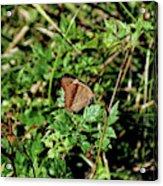 Common Buckeye Butterfly Acrylic Print