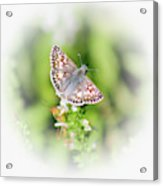 Common Checkered Skipper Butterfly  Acrylic Print