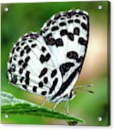 Common Pierrot Butterfly Acrylic Print