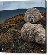 Common Seals, Loch Dunvegan, Isle Of Acrylic Print
