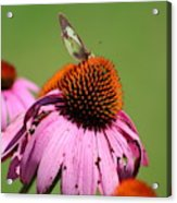Cone Flower Butterfly At Rest Acrylic Print
