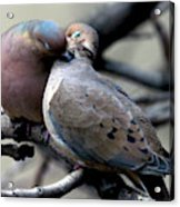 Cooing Mourning Doves 2 Acrylic Print