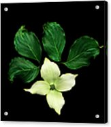 Cornus Plant Against Black Background Acrylic Print