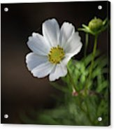 Cosmos In The Cottage Garden Acrylic Print