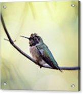 Costa's Humminbird On A Branch  Acrylic Print