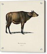 Cow  Bos Brachyceros  Illustrated By Charles Dessalines D' Orbigny  1806-1876  Acrylic Print