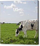 Cow Eating Grass On Farm Land Acrylic Print
