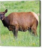 Cow Elk Grazing Acrylic Print
