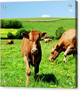 Cows And Buttercups Acrylic Print