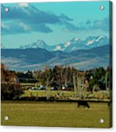 Cows Eat And Chew Their Cud Acrylic Print
