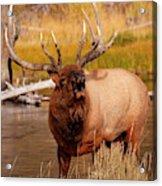 Creekside Bull Acrylic Print