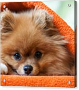 Cute And Funny Puppy Pomeranian Smiling Acrylic Print