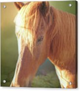 Cute Chestnut Pony Acrylic Print