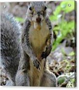 Cute Squirrel Acrylic Print