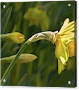 Daffodil In Sun Acrylic Print