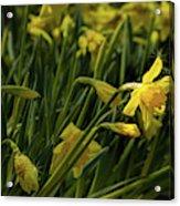 Daffodil Starlight Acrylic Print